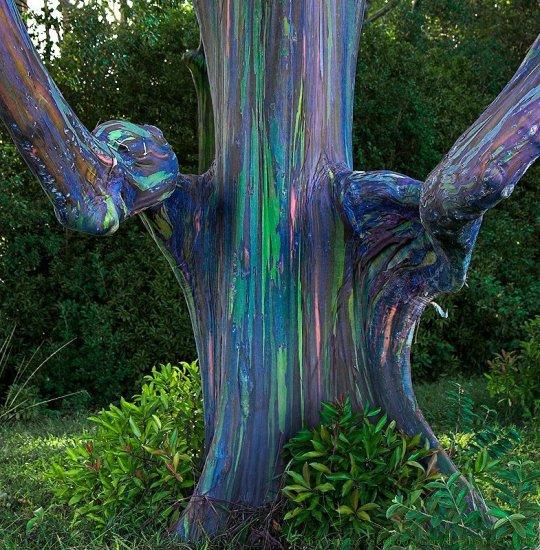 L'eucalyptus Deglupta
